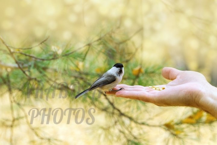Little bird willow tit sits on hand at autumn time