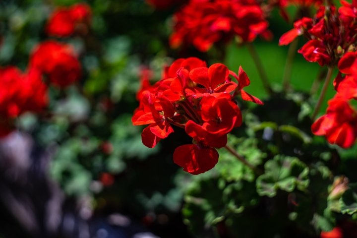 Red flowers in a park