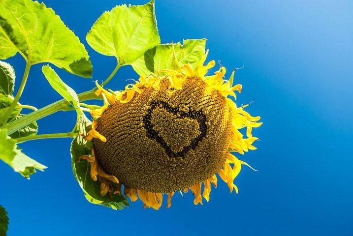 Sunflower in field over blue sky