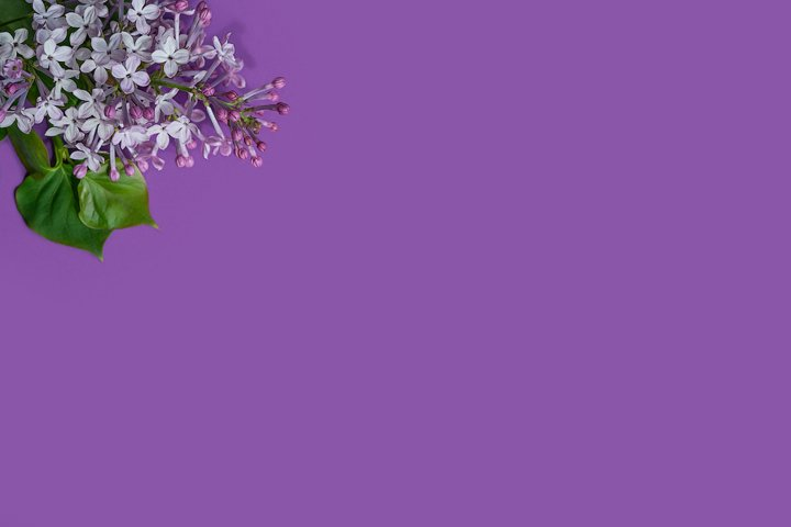 lilac branch on a purple background