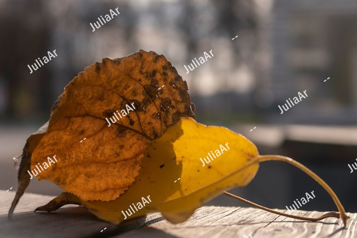 Dry brown and alive yellow autumn leaves closeup