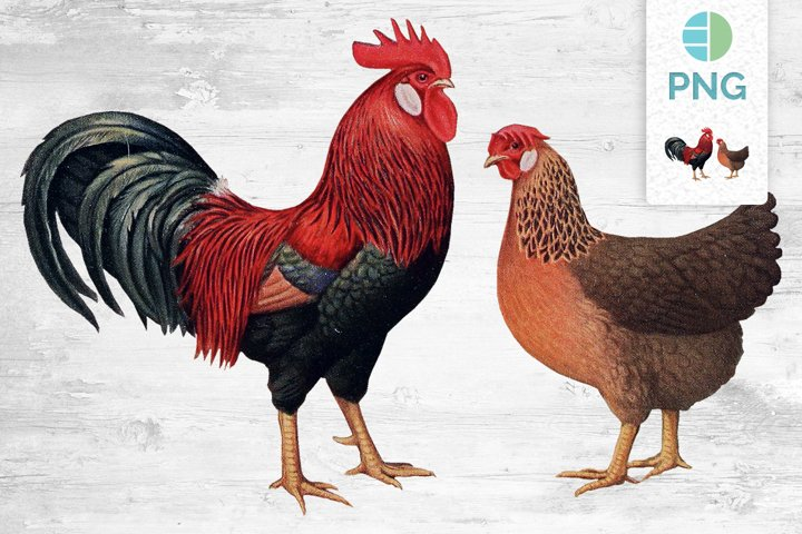 Chicken Clipart Leghorn