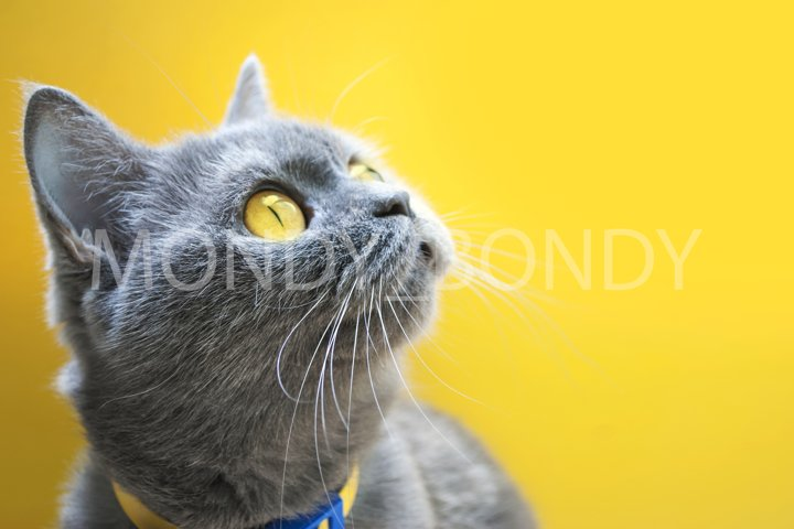 Scottish gray erect cat with bright yellow eyes on a yellow