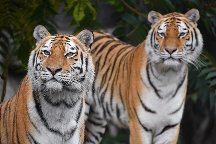 Close up Portrait of Two Siberian Tigers