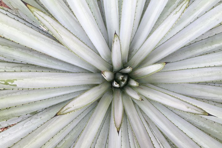 Agave tequilana leaves (macro composition)