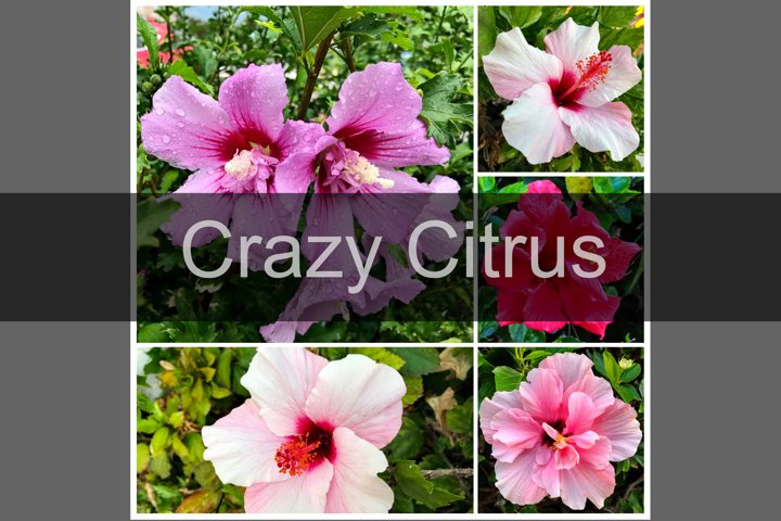Hibiscus flower or china rose blooming, set of 5 photos
