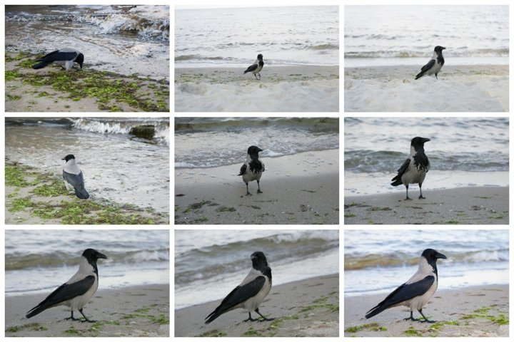 Crow on the seashore