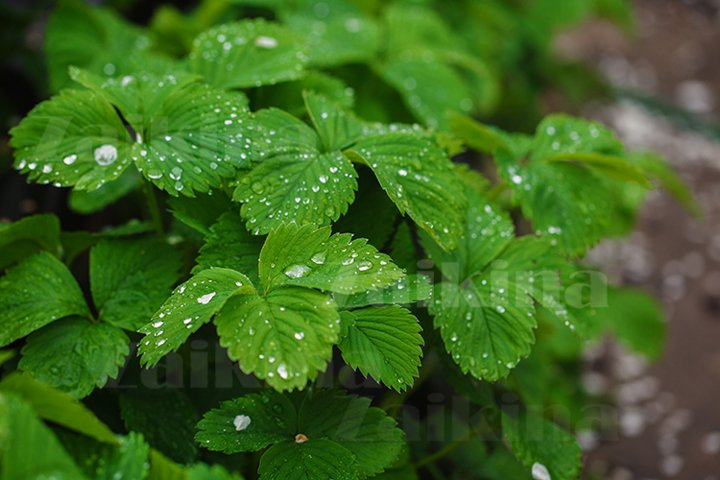 Green leaves of strawberry under rain drops