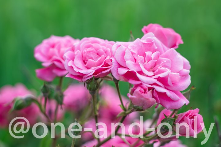 Roses flowers in the garden. Soft focus. Floral wallpaper