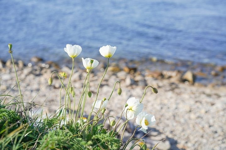 Natural landscape with white poppies. Wildlife