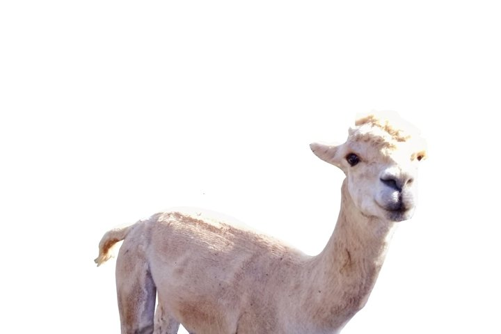 Llama Alpacka White background