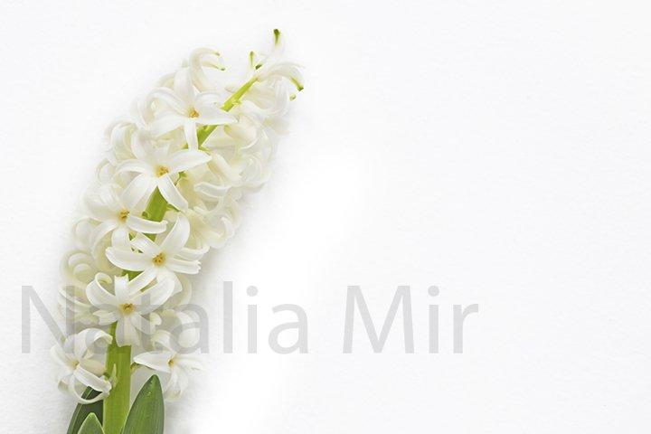White hyacinth isolated