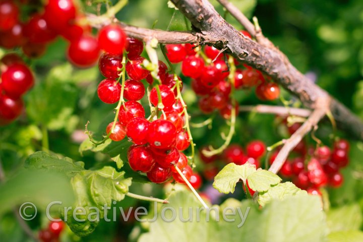 Red currant in garden.