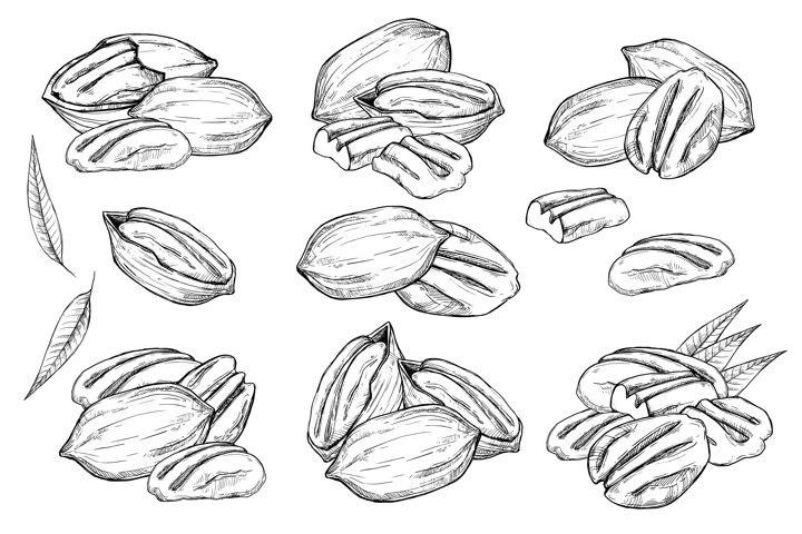 Pecan vector isolated on white background.