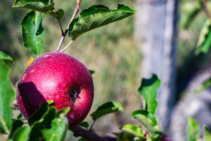 Apple fruit on a tree