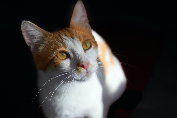 Tabby ginger and white cat on black background.