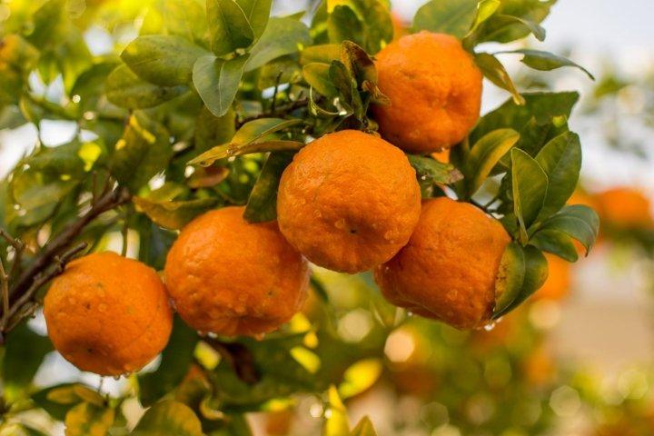 Mandarin / Tangerine tree after rain