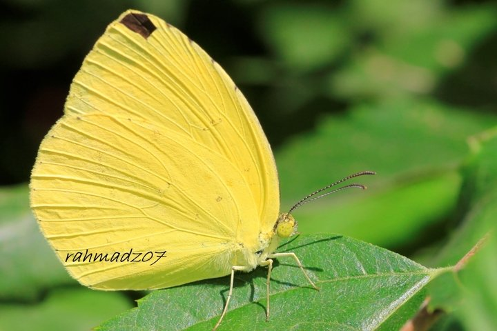Close up of Yellow Butterfly on Green Leaf.