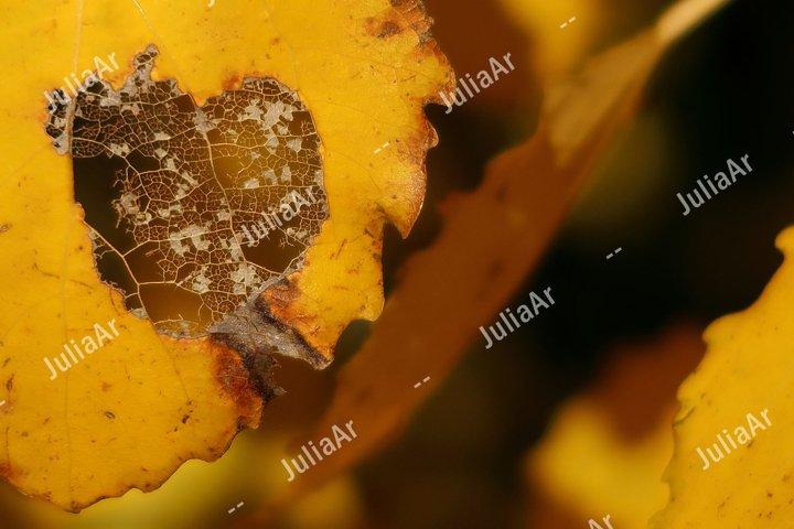 Yellow autumn leaf damage by caterpillar. Selective focus.