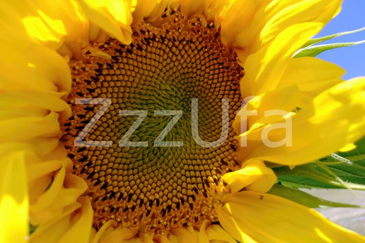 Sunflower Pack, set of 2 photo