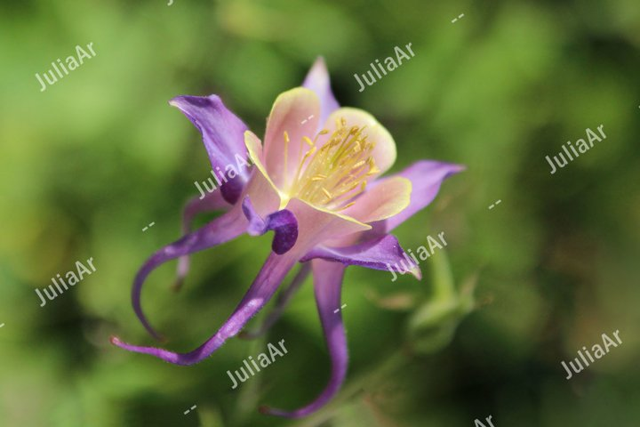 Purple columbine flower. Aquilegia canadensis.