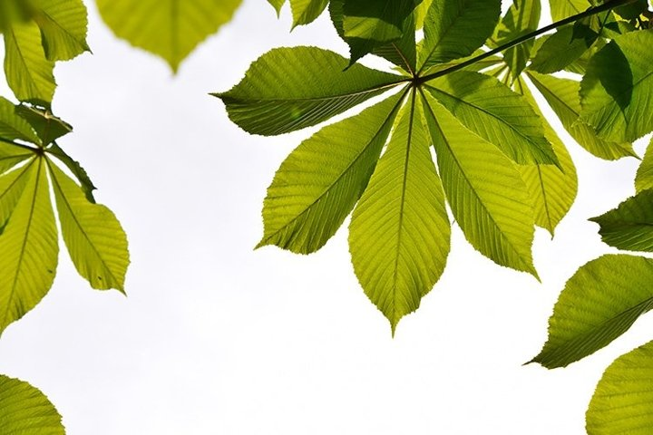 Translucent Backlit Horse Chestnut Green Leaves over White