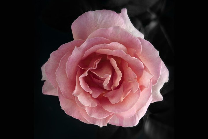 Open Pink Rose Top View