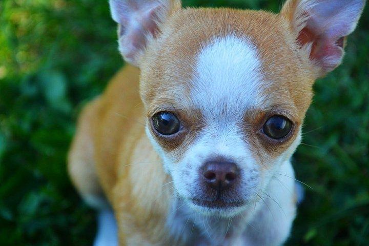 Small dog - Chihuahua