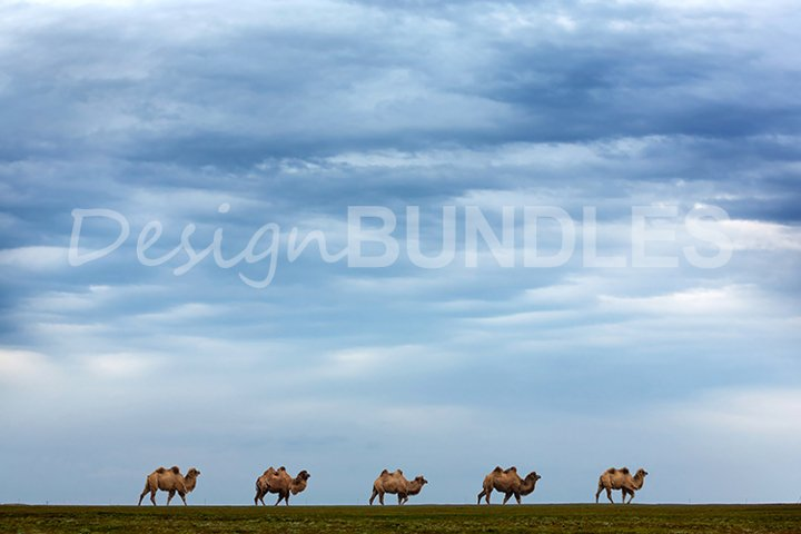 Five camels in the steppe skyline. The sky is in clouds.