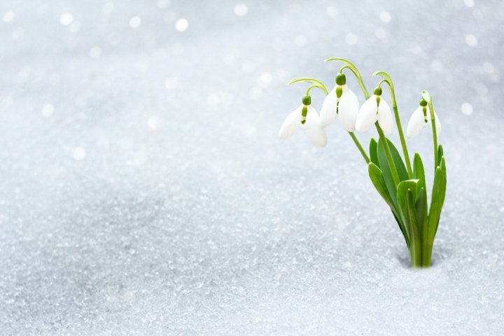snowdrops in early spring from under the snow with