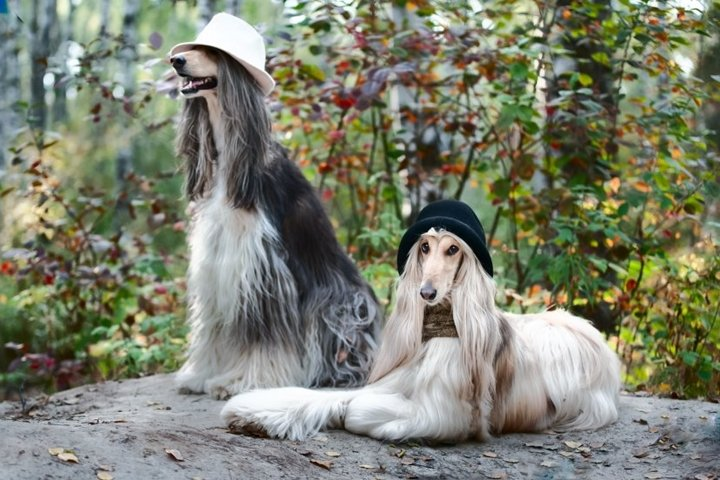 Growth portrait of two Afghan greyhounds in hats