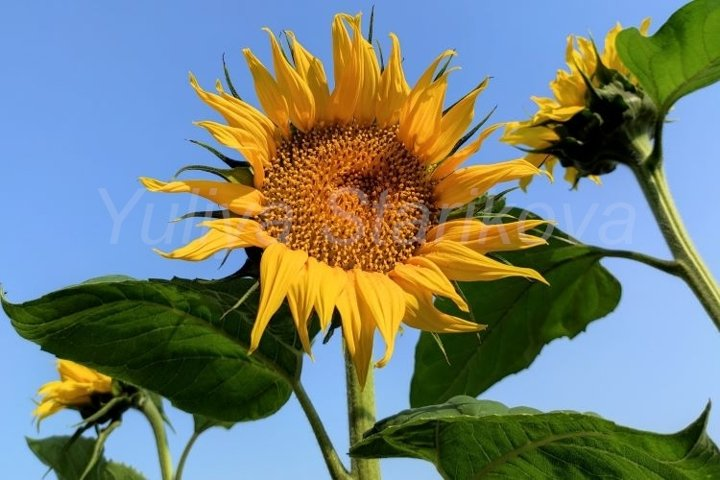 Summer banner with sunflowers. Blue sky with copy space.