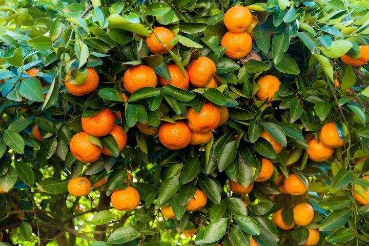 Mandarin / Tangerine tree
