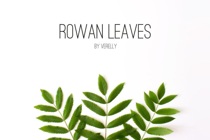 Green rowan leaves on white with copy space. Floral flat lay