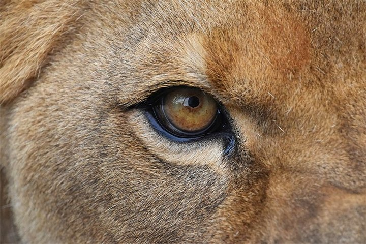 Close up Portrait of African Lioness
