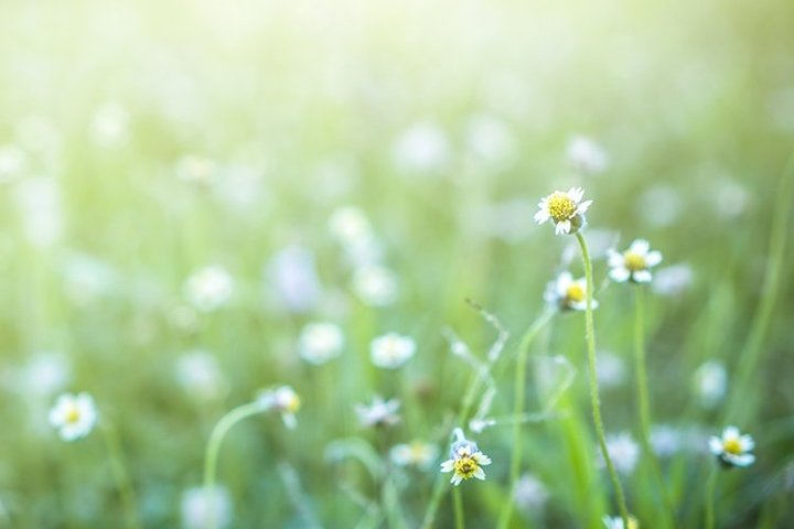 Meadow with small daisies in summer