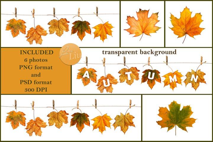 Maple branch on clothesline on transparent background