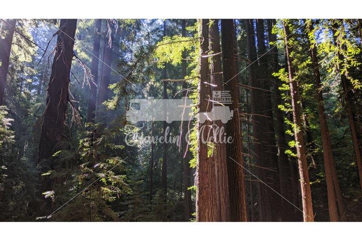 Stock Photo, Forest Trail, Redwood Trees Sunrise
