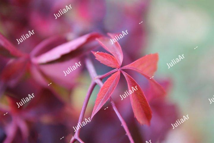 Pink leaves close up. Climbing plant. Autumn season.