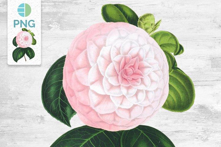 Camellia Clipart Flowers Vintage
