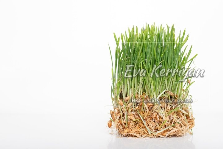 Green grass microgreen. Studio shot with space for text.