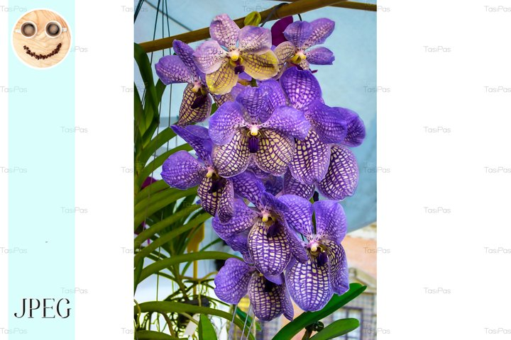 Beautiful violet orchid Vanda