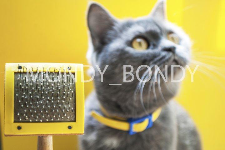 Scottish gray erect cat with bright yellow eyes