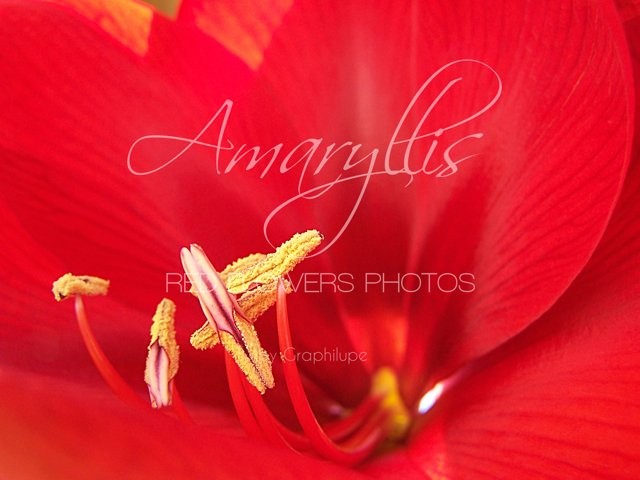 Amaryllis - the Red Flowers Photos