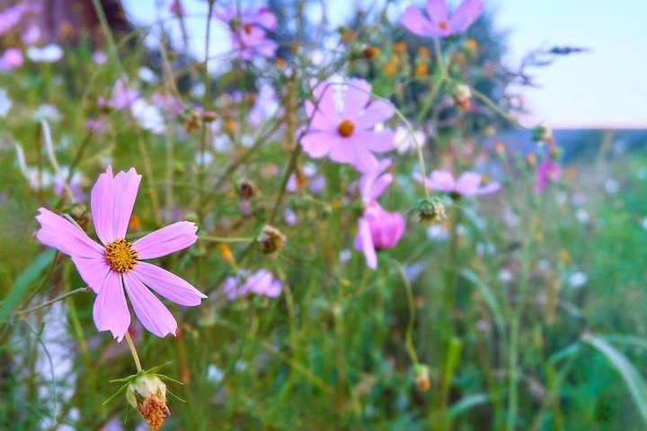 Mauve flowers are in the meadow. Vintage floral landscape.