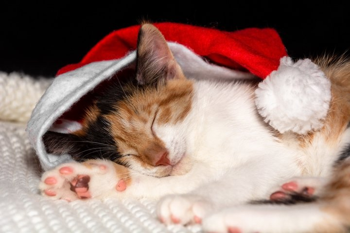 Sweetly sleeping kitten in santa claus hat