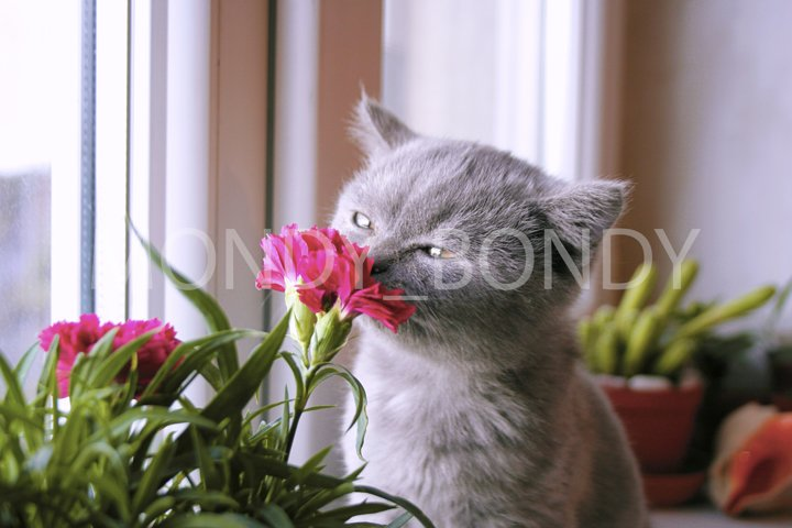 Little gray kitten admires the flower