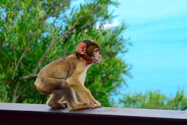 Cute baby macaque monkey in front of panorama-view