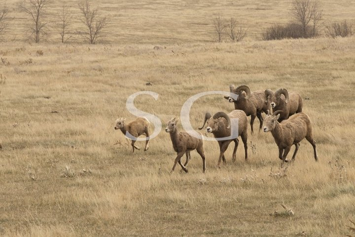Bighorn sheep herd running