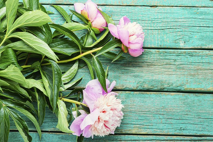 Elegant bouquet of pink peonies